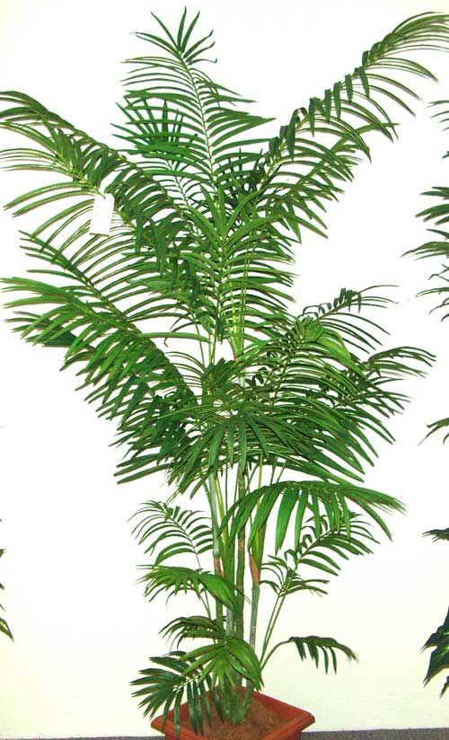 7-GOLDEN-CANE-PALM-X-5-STEMS
