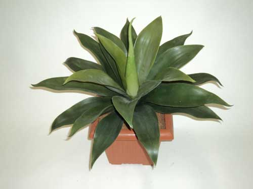 AGAVE-X-23-LEAVES--35CM-TALL--60CM-DIAMETER